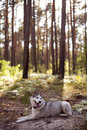 Siberian husky rest has a in forest Royalty Free Stock Photo