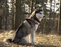 Siberian husky on a rock in the park Royalty Free Stock Photo