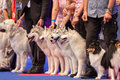 Siberian husky and shetland sheepdog july th paris france huskies sheepdogs in the show ring at the world dog show Royalty Free Stock Photos