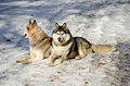 Siberian husky sitting Stock Photo