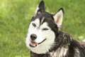 Siberian husky with smirking face large dog a i don t believe you expression on his Stock Images