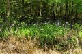Siberian iris i sibirica growing in a swampy wetlands here in south carolina usa Stock Photo