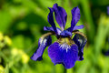 Siberian iris iris sibirica the colorful a perennial plant with purple blue flowers with a paler whitish or yellowish centre in Royalty Free Stock Photo