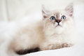 Siberian kitten neva masquerade lying on a soft bad Stock Photo
