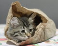 Siberian kitten in a papar bag view of pet into paper of the kitchen Royalty Free Stock Photos