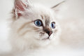 Siberian neva masquerade kitten close up portrait Stock Photography