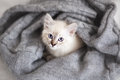 Siberian neva masquerade kitten lying soft bad Stock Photos