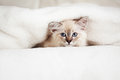 Siberian neva masquerade kitten lying soft bad Royalty Free Stock Images