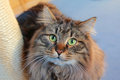 Siberian pedigree cat with green eyes Royalty Free Stock Photography