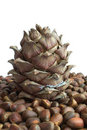 Siberian pine cone and nuts Stock Photo