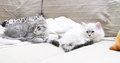 Siberian puppies of cat neva masquerade and blue version view cats at two month type on the sofa Stock Photography