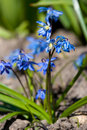Siberian squill Royalty Free Stock Images