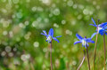 Siberian squill blue flower macro shot of Stock Photos