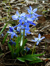 Siberian squill first spring flowers Royalty Free Stock Image