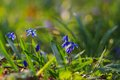 Siberian squill scilla siberica beautiful small blue flowers on the grass Stock Photography
