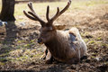 Siberian stag (maral) Royalty Free Stock Photo