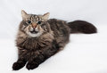 Siberian striped cat lying stretched out on the tail of gray Royalty Free Stock Photo