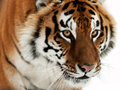 Siberian Tiger Royalty Free Stock Photo