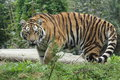 Siberian tiger the adult strolling in the grass Royalty Free Stock Photo