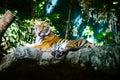 Siberian tiger amur tiger closeup of a also know as panthera tigris altaica the largest living cat Royalty Free Stock Photos