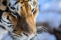Siberian tiger closeup of a face only about to of these beautiful animals are left in the wild Stock Image