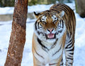 Siberian tiger closeup of a growling in winter with snow only about to of these beautiful animals are left in the wild Royalty Free Stock Photos