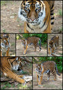 Siberian Tiger Collage Set Royalty Free Stock Photo