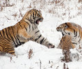 Siberian Tiger Couple Royalty Free Stock Photo