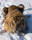 Siberian Tiger Crouching Stock Images