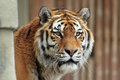 Siberian tiger detail Royalty Free Stock Photo