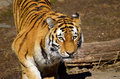 Siberian tiger looking mysterious forward Stock Images