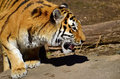 Siberian tiger looking mysterious in the sun Royalty Free Stock Photography