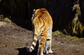 Siberian tiger migrates homeward in the sun Stock Photography