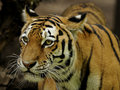 Siberian Tiger ( Panthera tigris altaica ) Royalty Free Stock Photography