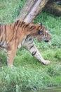 Siberian Tiger - Panthera tigris altaica Stock Photo