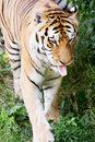 Siberian tiger panthera tigris altaica the also known as the amur is a subspecies inhabiting mainly the sikhote alin Royalty Free Stock Image