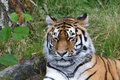 Siberian Tiger (Panthera tigris altaica) or Amur Tiger Royalty Free Stock Photo