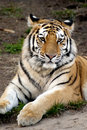 Siberian tiger panthera tigris altaica looking camera Stock Images
