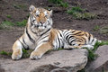 Siberian tiger panthera tigris altaica looking at camera Stock Image