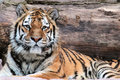 Siberian tiger panthera tigris altaica lying a with a truck as background Stock Images