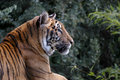 Siberian Tiger (Panthera tigris altaica) Royalty Free Stock Photo