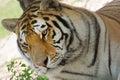 Siberian tiger panthera tigris altaica a single Royalty Free Stock Photos