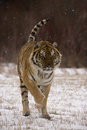 Siberian tiger panthera tigris altaica single cat in snow captive Stock Photo
