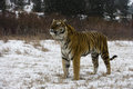 Siberian tiger panthera tigris altaica single cat in snow captive Royalty Free Stock Photo
