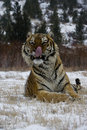 Siberian tiger panthera tigris altaica single cat in snow captive Royalty Free Stock Photo