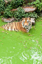 Siberian tiger in the pond Stock Images