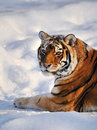 Siberian Tiger rest on Snow Stock Image