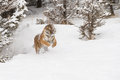 Siberian tiger in snow covered field Stock Photo