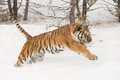 Siberian tiger in snow covered field Stock Image