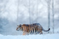 Siberian tiger in snow fall. Amur tiger running in the snow. Tiger in wild winter nature. Action wildlife scene with danger animal